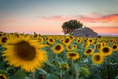 Provence, Francja, Valensole plateau z domem wiejskim i słonecznikami Fotografia Stock