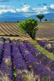 Provence, Frankreich, Lavendelfeld Lizenzfreie Stockfotografie