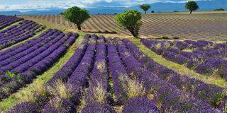 Provence, Frankreich, Lavendelfeld Stockfotos