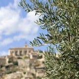 provence gałęziasty oliwny drzewo Zdjęcie Royalty Free