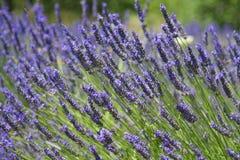 Provence kolorze lila fotografia stock