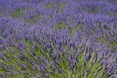 Provence-Lavendel lizenzfreies stockbild