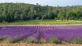 Provence - lavendelfält och vinrankor i bakgrunden Arkivbild