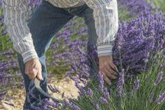 Provence - lavendelskördhand som blommar blommor av lavendel Royaltyfri Fotografi