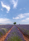 Provence lavender Royalty Free Stock Photos