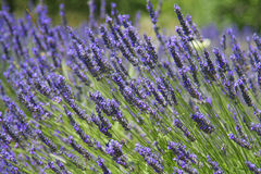 Provence lavender. Beautiful lavender fields, product of the Provence in the south of France stock photography