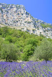 Provence lavender. Beautiful lavender fields, product of the Provence in the south of France stock images