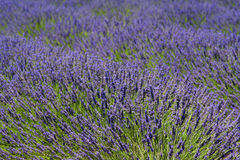 Provence lavender. Beautiful lavender fields, product of the Provence in the south of France royalty free stock image