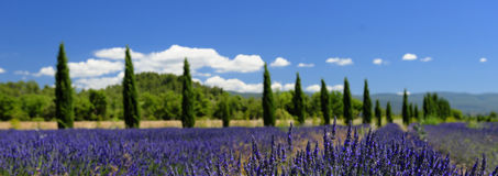 Provence lavender and cypress trees panorama. Panorama of lavender fields and cypress trees of Provence, France Royalty Free Stock Photo
