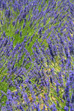 Provence lavender detail. Beautiful lavender fields, product of the Provence in the south of France stock image