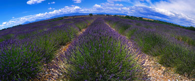 Provence - Lavender field Royalty Free Stock Photography