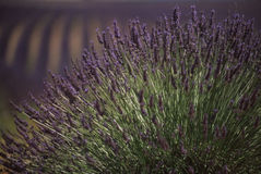 Provence - Lavender field Royalty Free Stock Photos