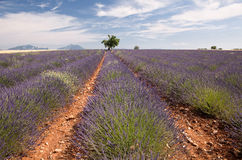 Provence lavender field Stock Image