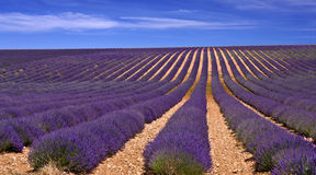 Provence,lavender field Royalty Free Stock Photo