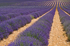 Provence,lavender field. A nice view of a lavender field Stock Image