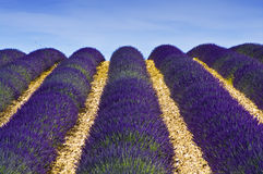 Provence,lavender field. A nice view of a lavender field Royalty Free Stock Photo