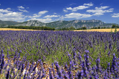 Provence lavender field. Beautiful lavender fields, product of the Provence in the south of France royalty free stock image