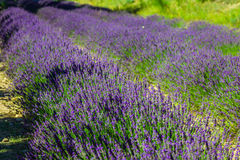 Provence - lavender field in the Gordes ,France Stock Photography