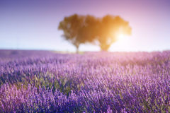 Provence. Lavender field. The plateau of Valensole in Provence Stock Photography