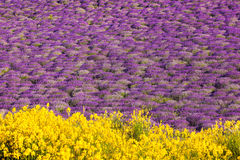 Provence with Lavender field at sunset, Valensole Plateau area in south of France Royalty Free Stock Image