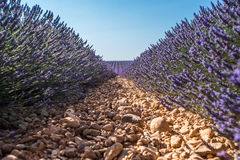 Provence, Lavender field at sunset, Valensole Plateau Royalty Free Stock Photo