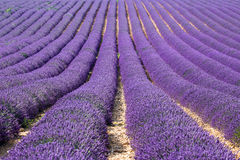 Provence, Lavender field at sunset, Valensole Plateau Royalty Free Stock Photography