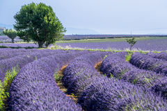 Provence, Lavender field at sunset, Valensole Plateau Stock Images