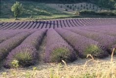 Provence lavender fields royalty free stock image