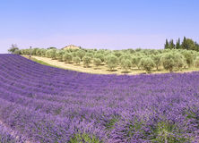 Provence: lavender fields and olive trees Royalty Free Stock Photo