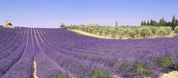 Provence: lavender fields and olive trees Stock Photos