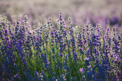 Provence lavender flowers. royalty free stock images