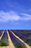 Provence, lawendy pole Zdjęcie Stock