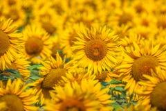Provence med fältet av blommande solrosor i Frankrike Royaltyfria Bilder