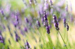 Provence naturbakgrund Lavendelfält i solljus med kopieringsutrymme Makro av blommande violetta lavendelblommor arkivbilder