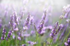 Provence naturbakgrund Lavendelfält i solljus med kopieringsutrymme Makro av blommande violetta lavendelblommor Royaltyfri Fotografi