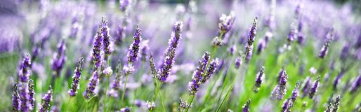 Provence nature background. Lavender field in sunlight with copy space. Macro of blooming violet lavender flowers stock photo