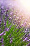 Provence nature background. Lavender field in sunlight with copy space. Macro of blooming violet lavender flowers royalty free stock photos