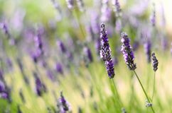 Provence nature background. Lavender field in sunlight with copy space. Macro of blooming violet lavender flowers. Summer concept, selective focus stock images