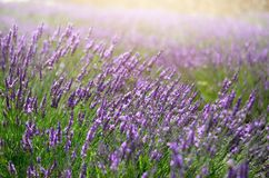 Provence nature background. Lavender field in sunlight with copy space. Macro of blooming violet lavender flowers royalty free stock photography