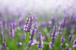 Provence nature background. Lavender field in sunlight with copy space. Macro of blooming violet lavender flowers stock image