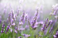 Provence nature background. Lavender field in sunlight with copy space. Macro of blooming violet lavender flowers. Summer concept, selective focus royalty free stock photography