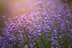Provence nature background. Lavender field in sunlight with copy stock images