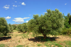 Provence. Olive tree Royalty Free Stock Images