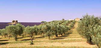 Provence: olive trees and lavender field Royalty Free Stock Photography