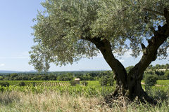 provence oliwny drzewo Obraz Stock