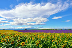 Provence rural landscape, France. Stunning rural landscape with sunflower and lavender field. Plateau of Valensole, Provence, France Stock Images