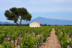 Provence's Vineyards. Provence's Mount Ventoux rises above trees and vineyards Royalty Free Stock Photography