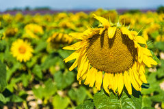 Provence Sunflowers Royalty Free Stock Photo
