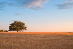 Provence at sunset. One tree in the middle of cultivated field. Provence, South of France Royalty Free Stock Images