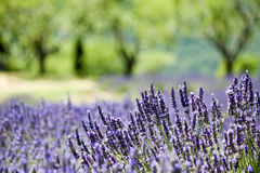 Provence, typical landscape. Provence, typical lavender landscape. France royalty free stock photos